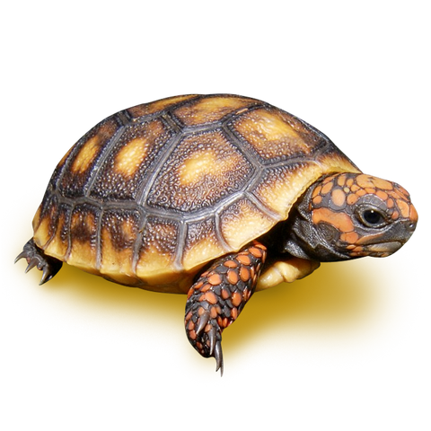 "We have just one very pretty 3"" Red Foot Tortoise with a small cross in one of the scutes. Ask for pictures please."