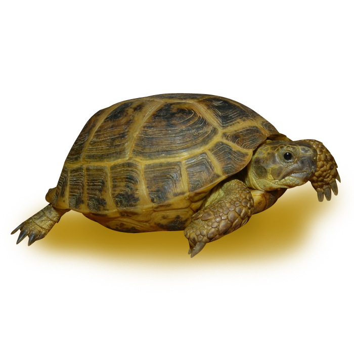 Adult Russian Tortoise