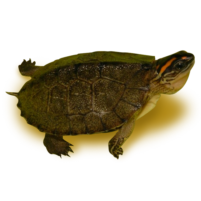 Turtles - Wood Turtles - Spotted-Legged Wood Turtle