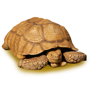 "Sulcata Tortoise, 22.5"" - 40lbs Adult Female"