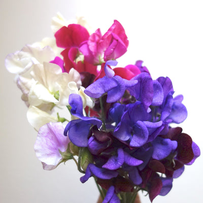 white, pink and purple sweet pea stems