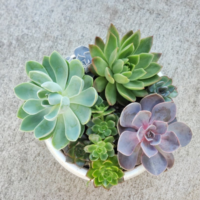trio of succulents in small white pot