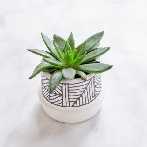 Cute living succulent plant in pot