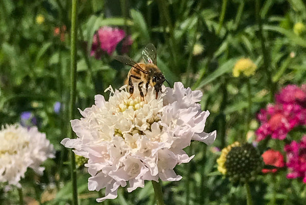 There are enough flowers for the bees - they loved the pincushion flowers