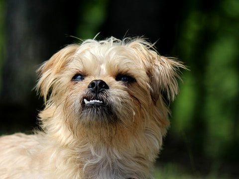 Brussels Griffon one of the small Dog breeds that don't shed