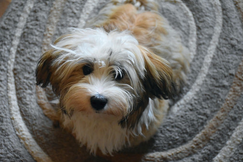 Havanese one of the small Dog breeds that don't shed much