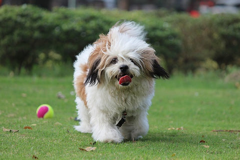 Lhasa Apso one of the small Dog breeds that don't shed much