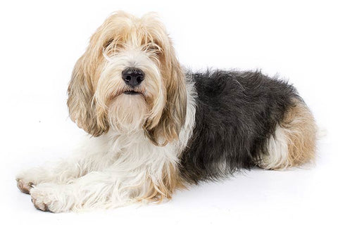 Dog Breeds that don't shed