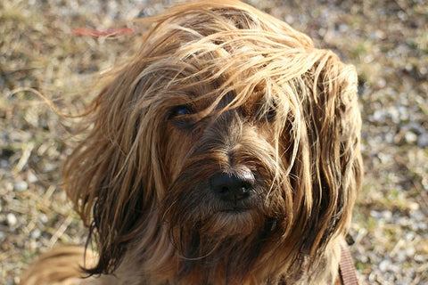 15 Dog Breeds That Don't Shed for a Pet-Hair Free Life |