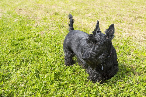 Scottish Terrier one of the small Dog breeds that don't shed