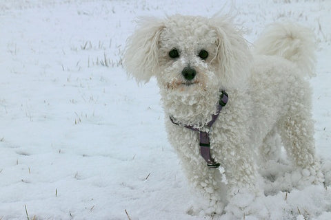 Bichon Frise  one of the small Dog breeds that don't shed