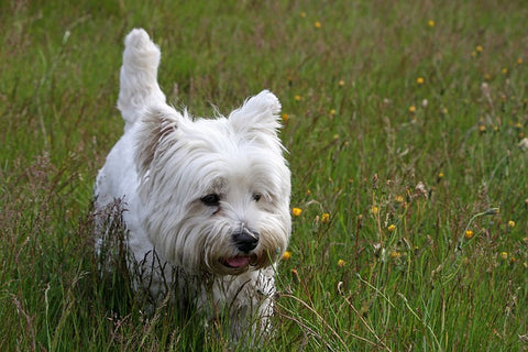 West Highland White Terrier one of the small Dog breeds that don't shed