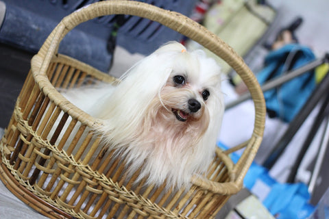 Shih Tzu one of the small Dog breeds that don't shed