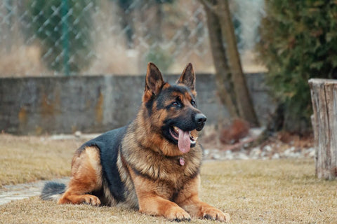 How to clean a dog's ears German Shepherd sitting