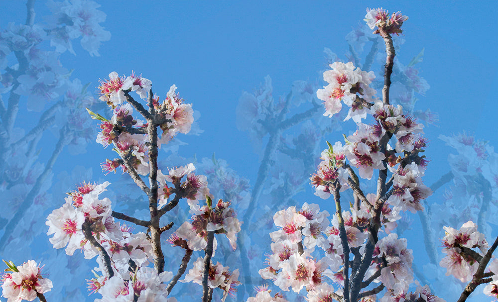 dreamy cherry flowers blue sky modemour