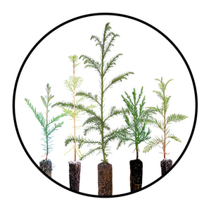 Live Tree Seedlings | SequoiaTrees.com