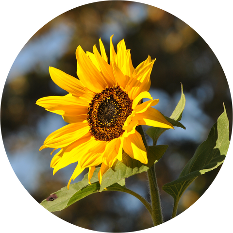 Sunflower Growing Instructions | The Jonsteen Company