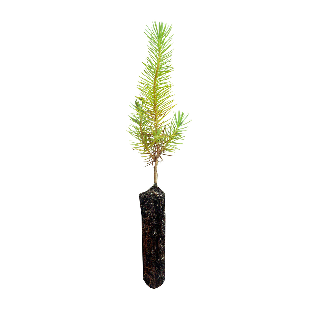Aleppo Pine | Small Tree Seedling | The Jonsteen Company