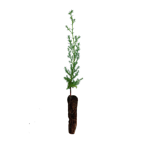Arizona Cypress | Small Tree Seedling | The Jonsteen Company