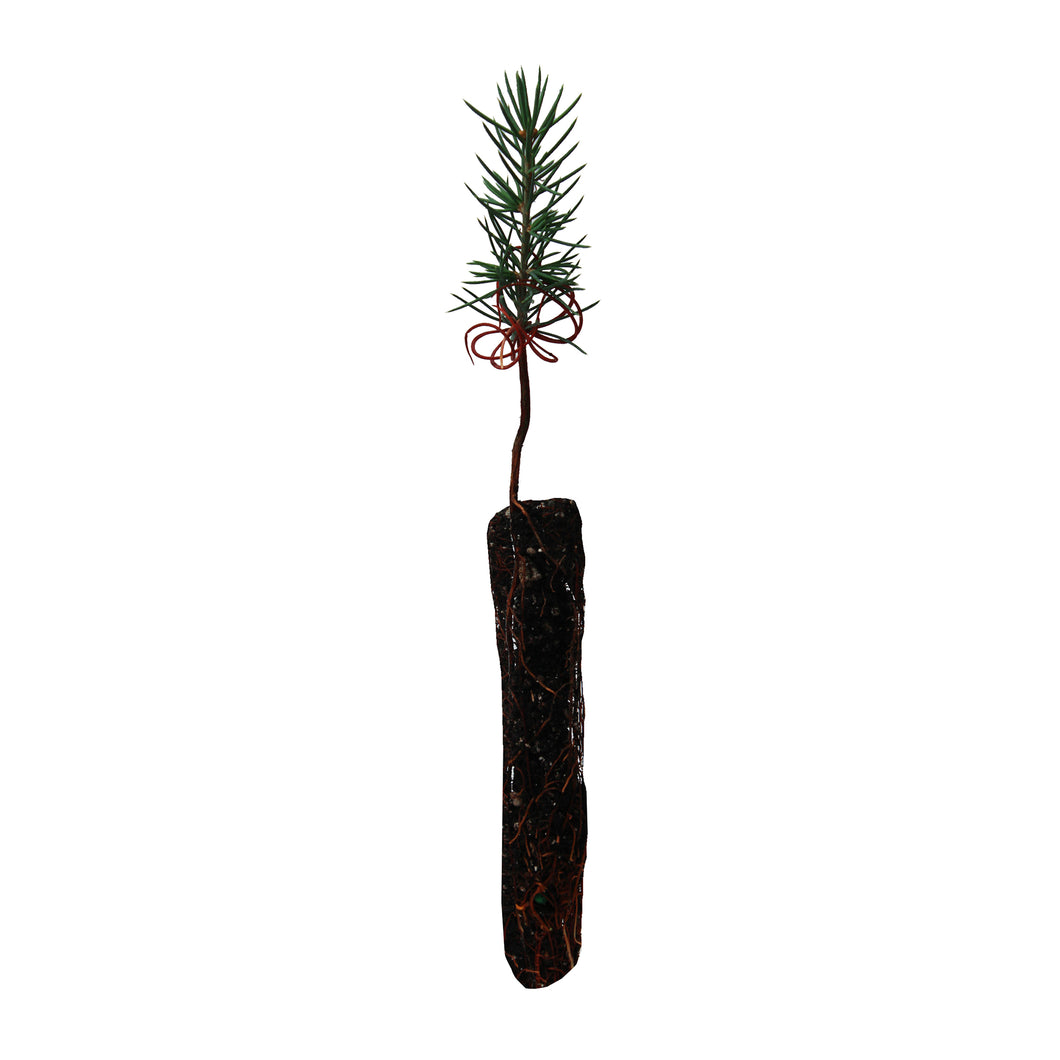Atlas Cedar | Small Tree Seedling | The Jonsteen Company