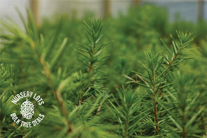 Atlas Cedar | Lot of 30 Tree Seedlings | The Jonsteen Company