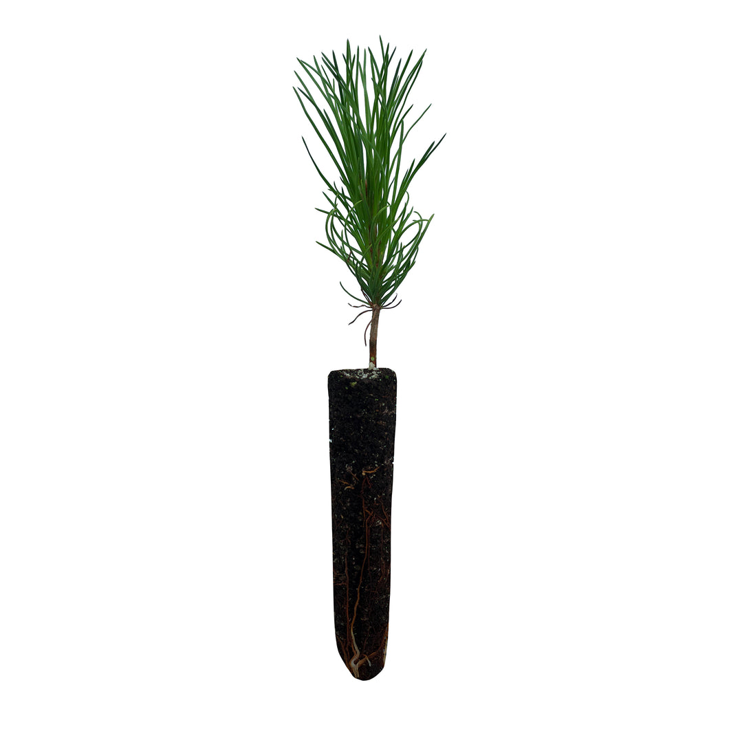 Austrian Black Pine | Small Tree Seedling | The Jonsteen Company