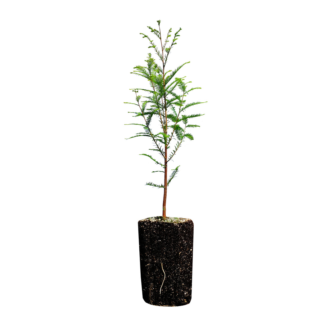 Baldcypress | XL Tree Seedling | The Jonsteen Company