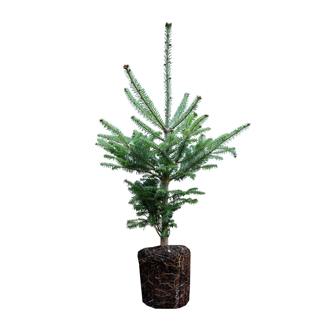 Balsam Fir | Large Tree Seedling | The Jonsteen Company