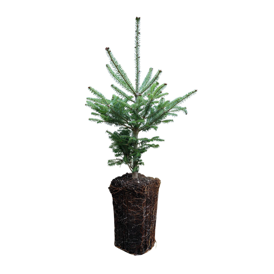 Balsam Fir | XL Tree Seedling | The Jonsteen Company