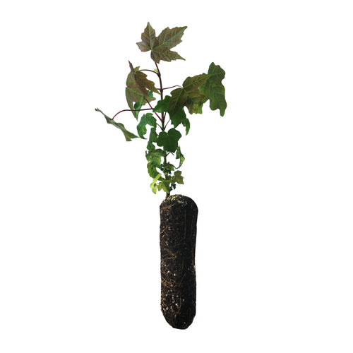 Bigleaf Maple | Medium Tree Seedling | The Jonsteen Company