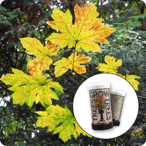Bigleaf Maple | Mini-Grow Kit | The Jonsteen Company