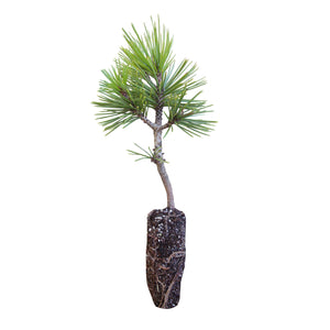Bosnian Pine | Medium Tree Seedling | The Jonsteen Company