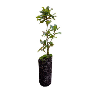 Canyon Live Oak | Medium Tree Seedling | The Jonsteen Company