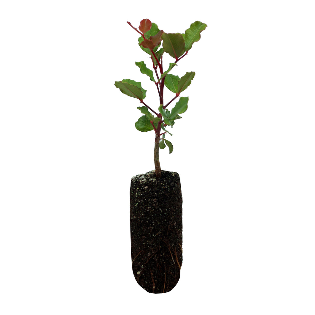 Carob Tree | Medium Tree Seedling | The Jonsteen Company