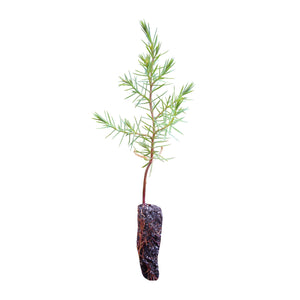 Chinese Juniper | Small Tree Seedling | The Jonsteen Company