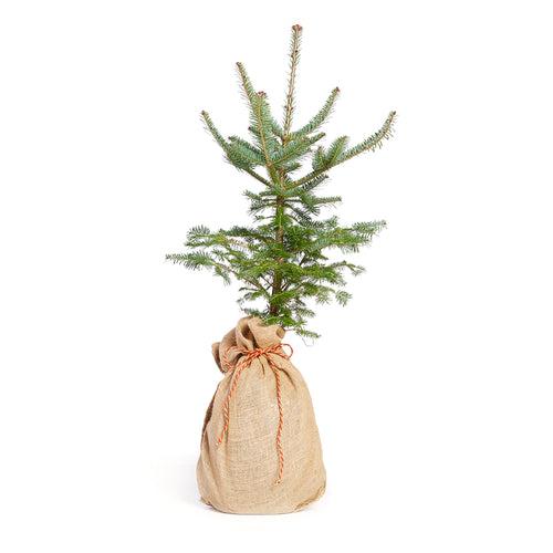 Balsam Fir Christmas Tree w/ Burlap Container | The Jonsteen Company