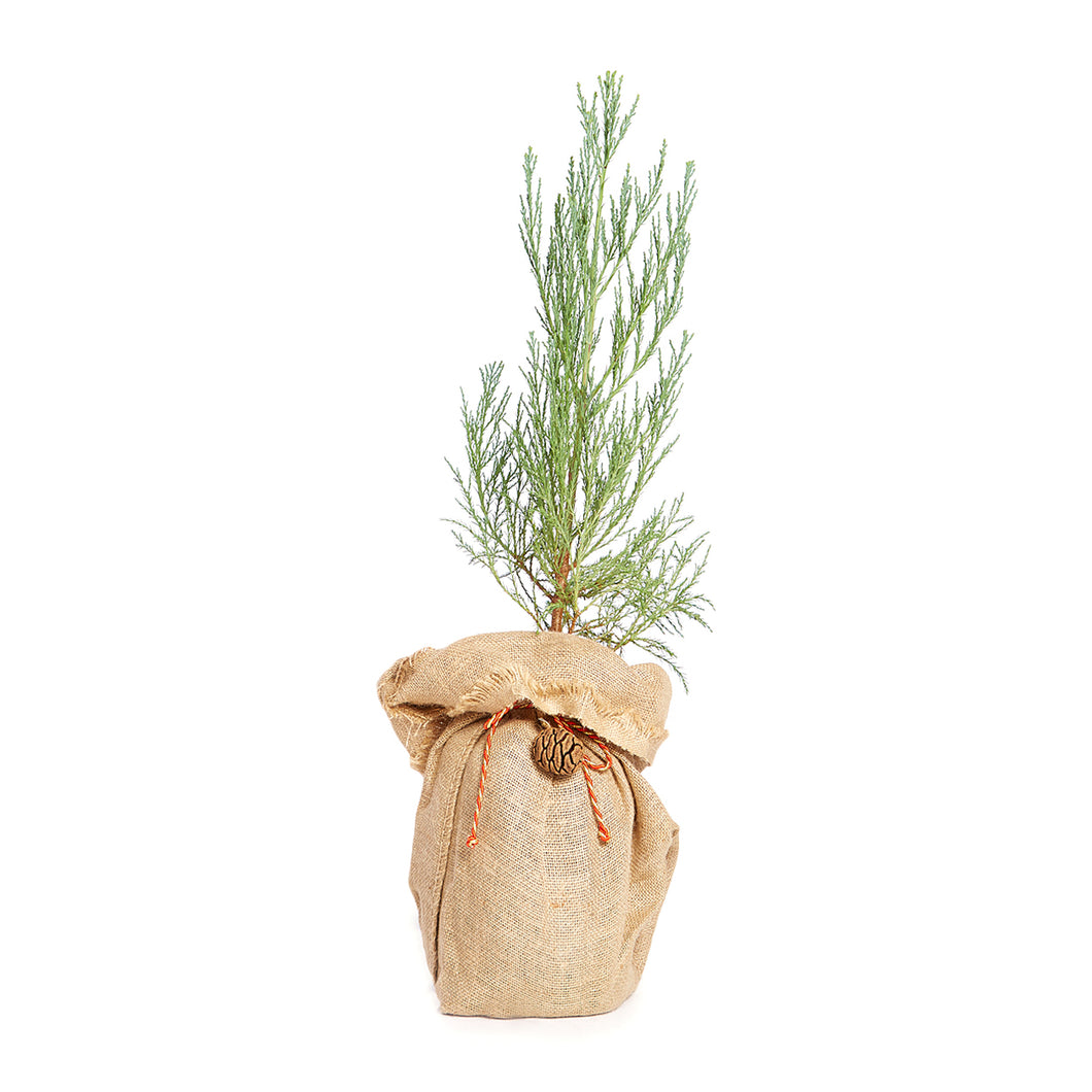 Giant Sequoia Christmas Tree w/ Burlap Container | The Jonsteen Company