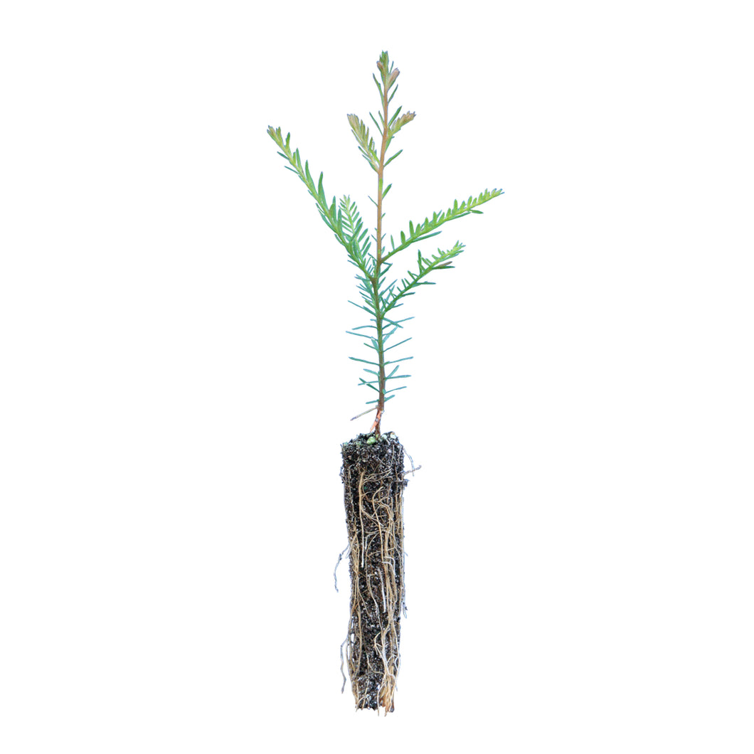 Coast Redwood | Small Tree Seedling | The Jonsteen Company