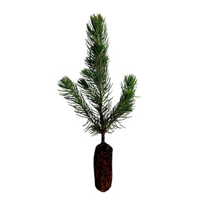 Colorado Blue Spruce | Lot of 30 Tree Seedlings | The Jonsteen Company