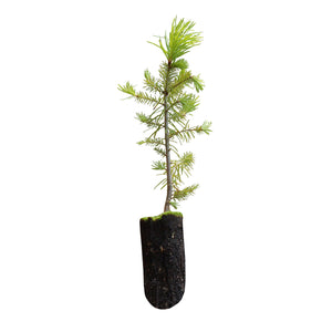 Douglas Fir | Medium Tree Seedling | The Jonsteen Company