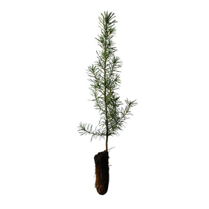Douglas Fir | Small Tree Seedling | The Jonsteen Company
