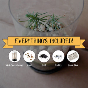 Western White Pine | Mini-Grow Kit
