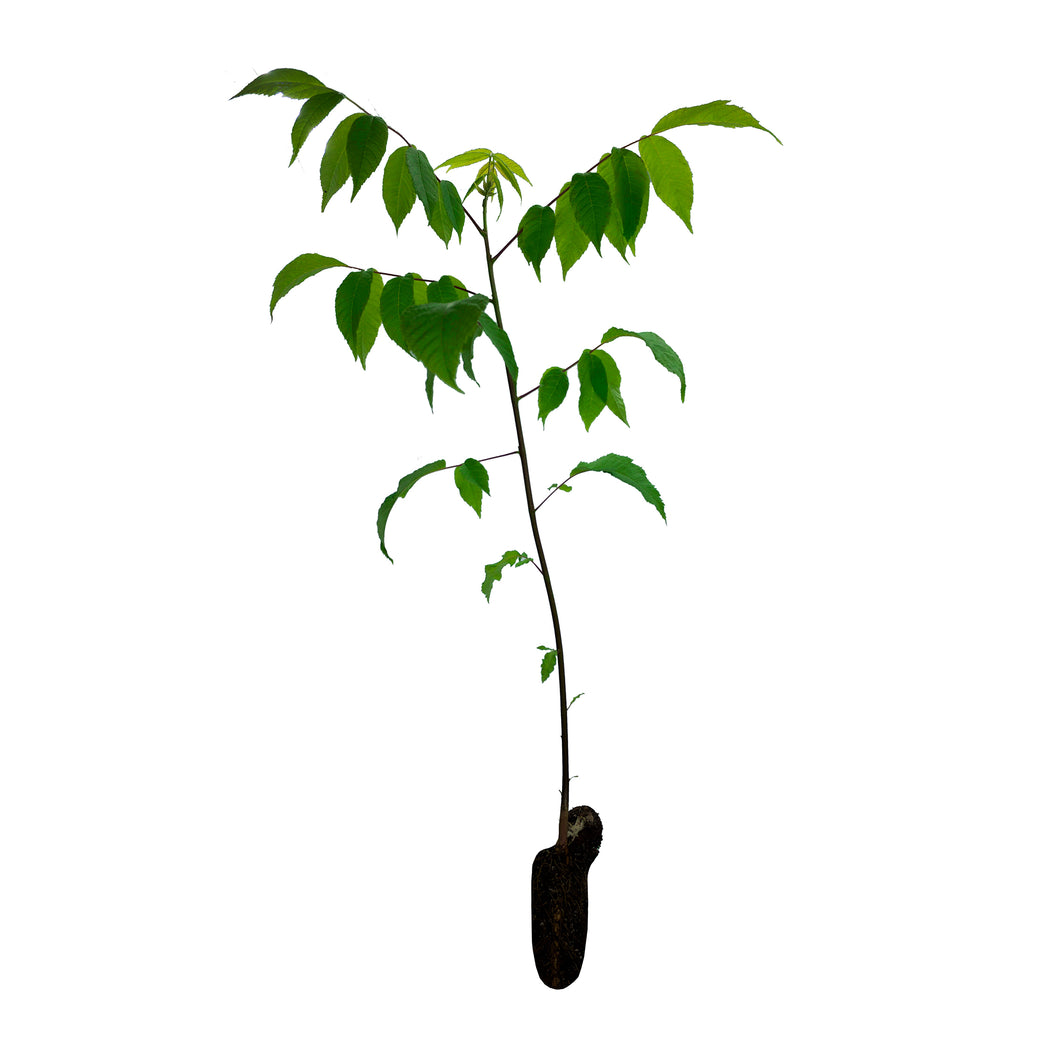 Eastern Black Walnut | Medium Tree Seedling | The Jonsteen Company