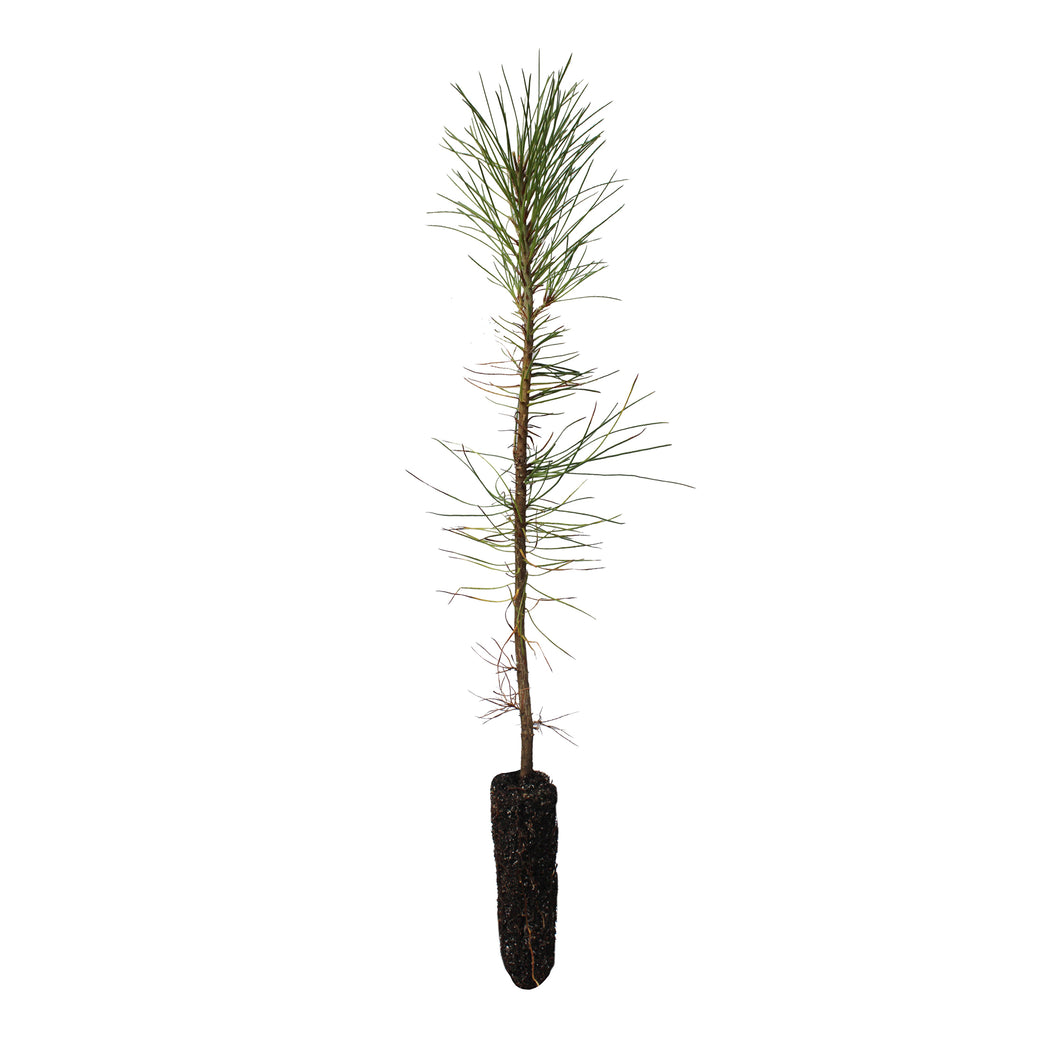 Ghost Pine | Small Tree Seedling | The Jonsteen Company