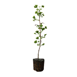 Ginkgo biloba | Large Tree Seedling | The Jonsteen Company