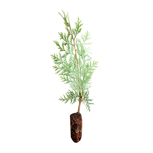 Incense Cedar | Medium Tree Seedling | The Jonsteen Company