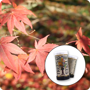 Japanese Red Maple | Mini-Grow Kit | The Jonsteen Company