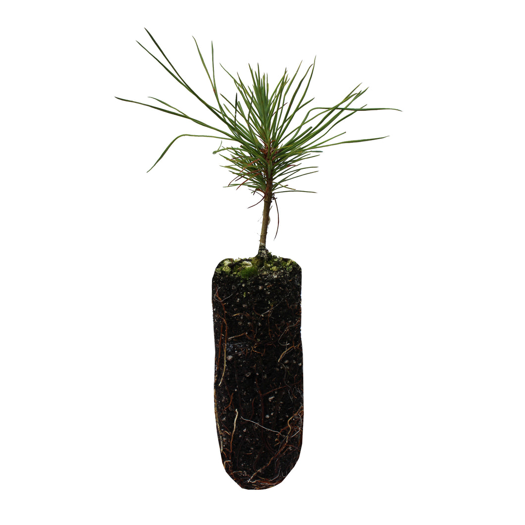 Jeffrey Pine | Medium Tree Seedling | The Jonsteen Company