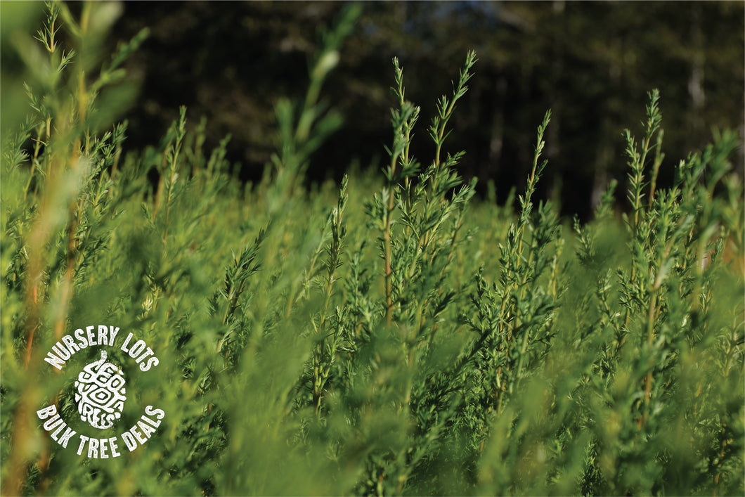 Monterey Cypress | Lot of 30 Tree Seedlings | The Jonsteen Company