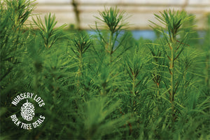 Monterey Pine | Lot of 30 Tree Seedlings | The Jonsteen Company